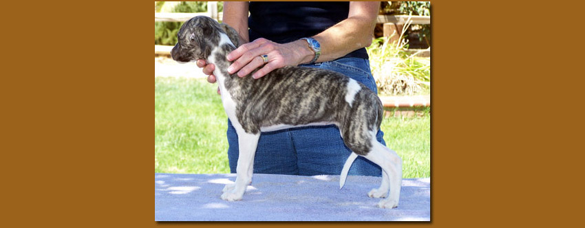 Black brindle girl